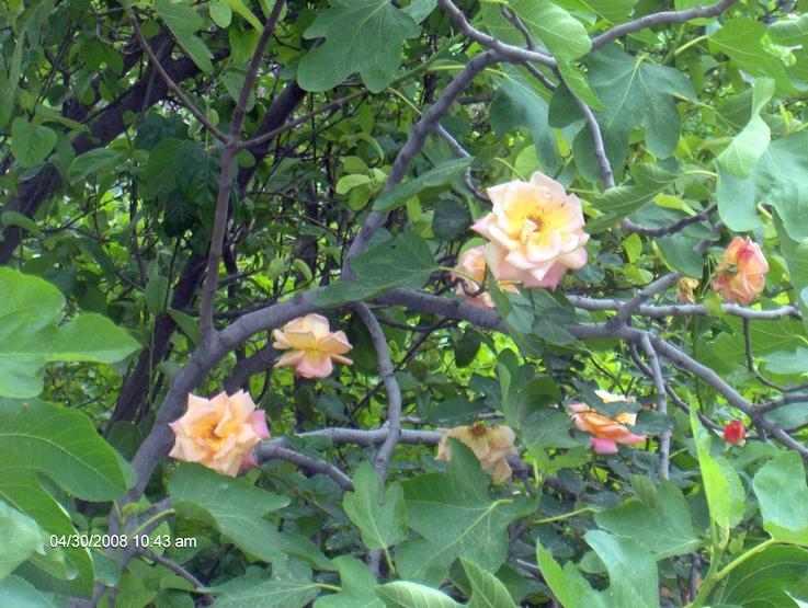 как цветет смоковница фото можно восстановить все