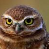 Grey Owl (Россия, московская область)