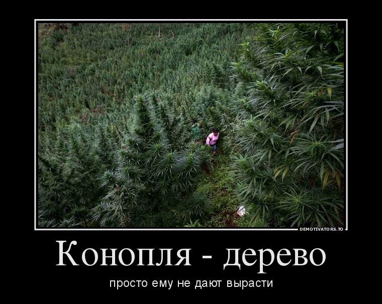 Выражения о конопле конопля семена белгород купить
