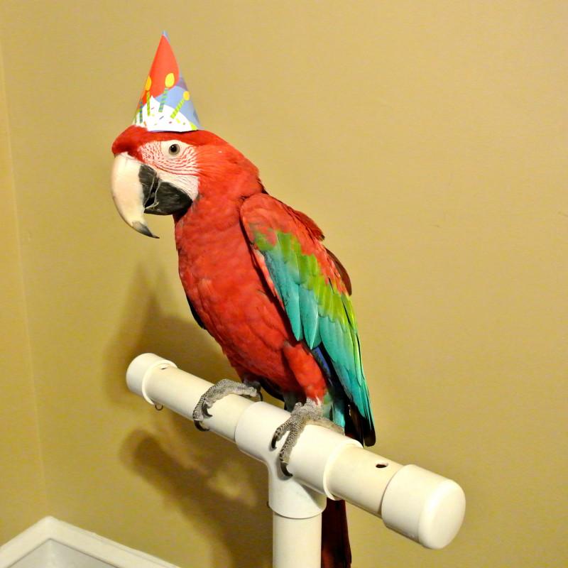 С днем рождения картинка с попугаями, для родителей