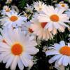 Цветок сомнения – ромашка, Она же – символ чистоты: И её белая рубашка, И её помыслы – чисты!